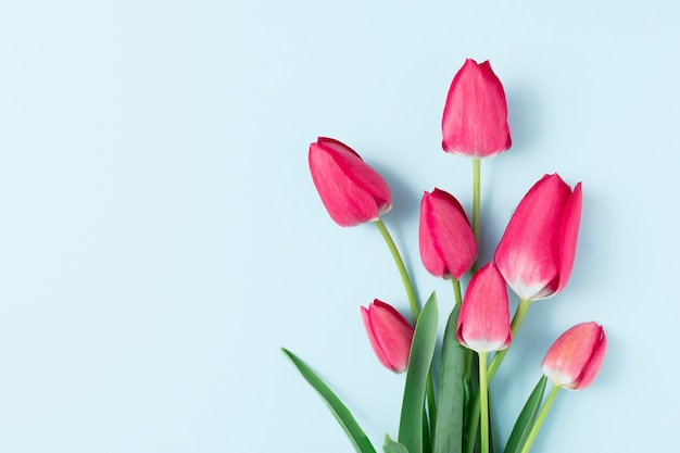 Pink spring flowers tulips on a blue background with copy space.