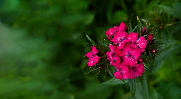 Pink sweet william dianthus barbartus on blurred green background