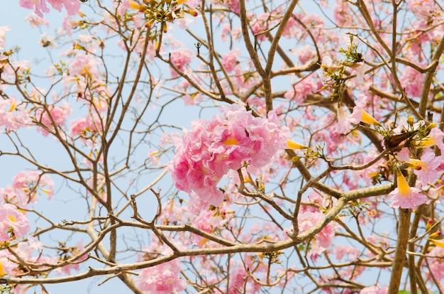 Pink tabebuia flower blossom, thailand