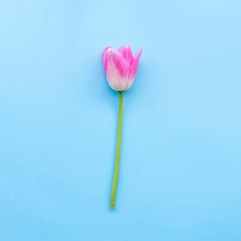 Pink tender tulip on stem