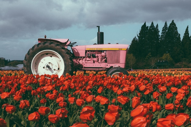 Pink tractor in a field full of beautiful colorful tulips