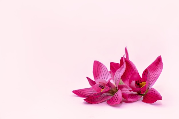 분홍색 배경에 있는 분홍색 열대 꽃 난초 frangipani는 스파 개념을 조롱합니다.