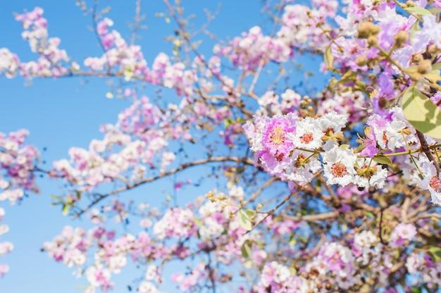 Pink trumpet tree of beauty flowers