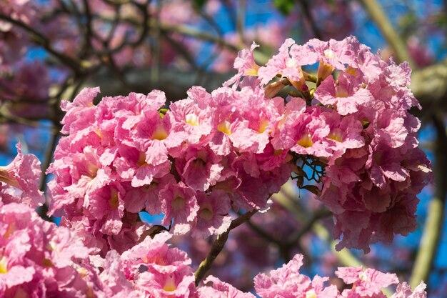 Pink trumpet tree flower blooming.
