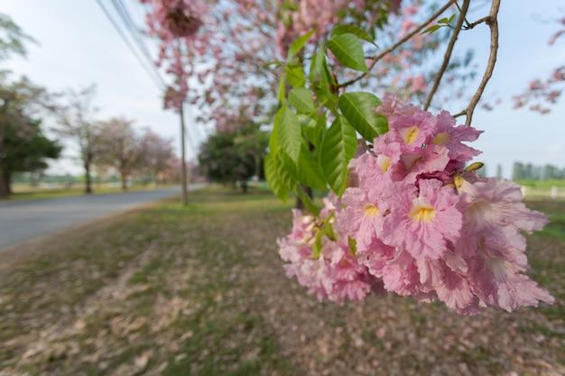 Pink trumpet tree (tabebuia rosea), a sweet pink flower blooming