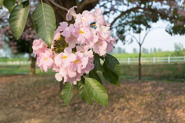 Pink trumpet tree, tabebuia rosea