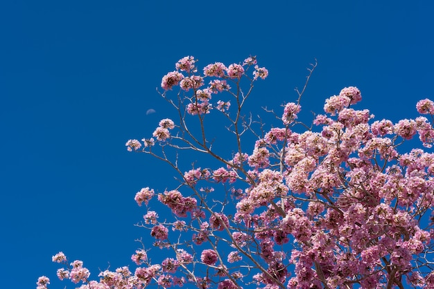 Pink trumpet on the tree without leaf with blur of moon