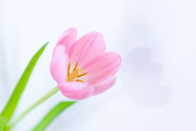 緑の葉とピンクのチューリップの花がクローズアップ