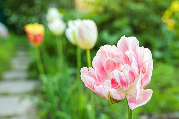 花壇にピンクのチューリップの花