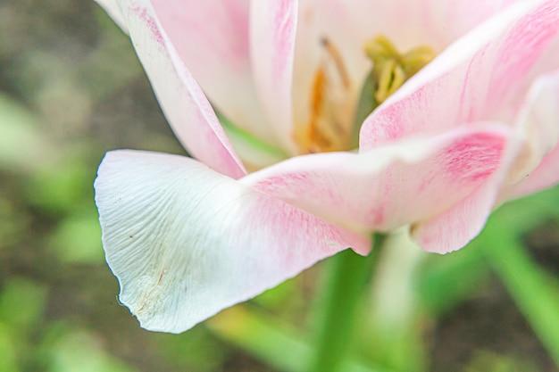 春のピンクのチューリップの花
