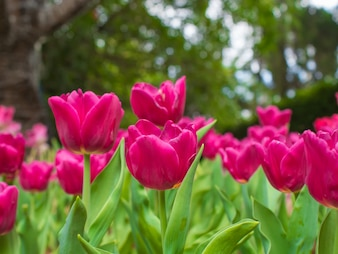 Pink tulip garden on blur background