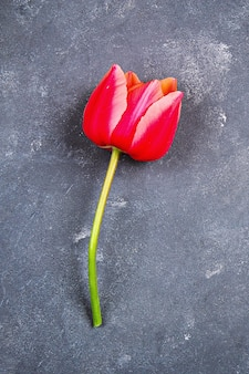 Pink tulip on gray concrete background.