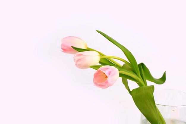 Розовый тюльпан на светлом фоне, мягкий фокус. нежный весенний цветок