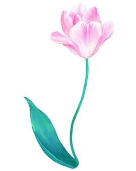 パステルカラーの緑の葉と茎のピンクのチューリップ。手描きの水彩イラスト。孤立。