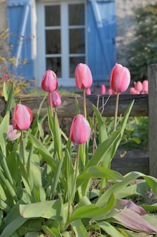 Pink tulips blooming in front of wooden fence od a rural house with blue shutters