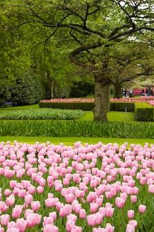 オランダ、キューケンホフ公園のオランダ庭園に咲くピンクのチューリップ