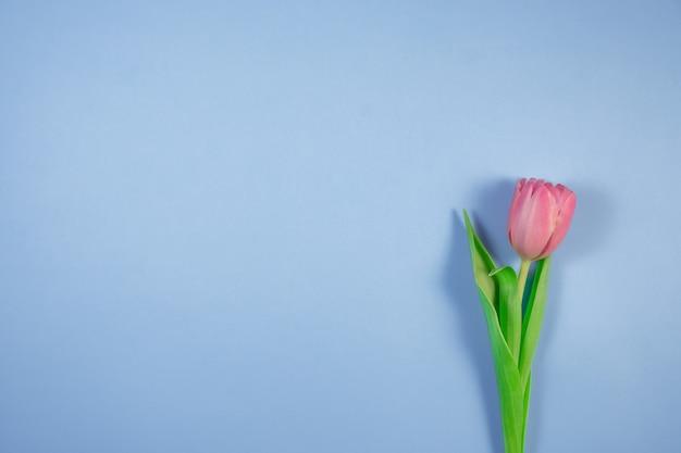 Розовый цветок тюльпанов на синем фоне. карта на день матери, 8 марта, счастливой пасхи, дня святого валентина, дня рождения. жду весны. открытка. плоская планировка, вид сверху, копирование пространства для текста