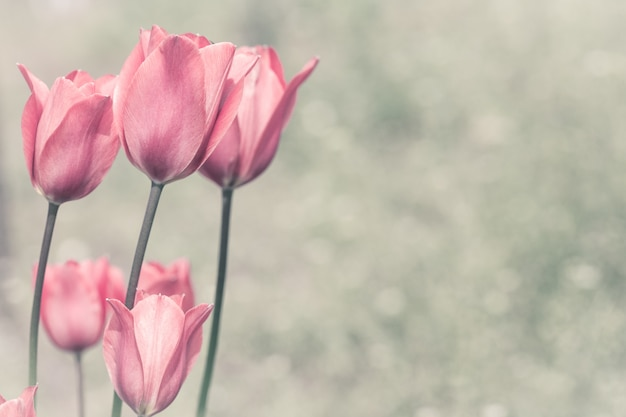 Pink tulips in a garden.