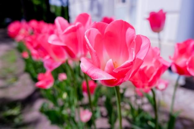 都市公園におけるピンクのチューリップ。夏の日に庭のチューリップの花。ぼやけた壁。春の花のフィールド。幸せな母の日、挨拶。