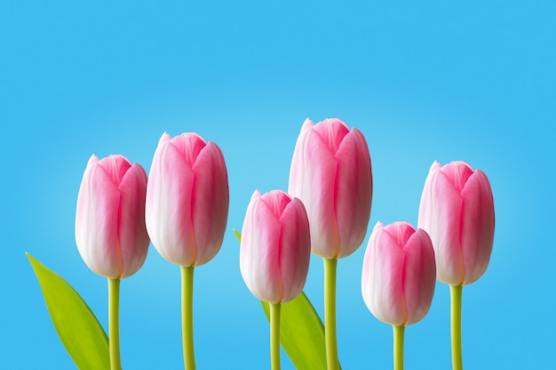 Pink tulips isolated on blue background
