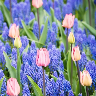 Pink tulips and muscari hyacinth field
