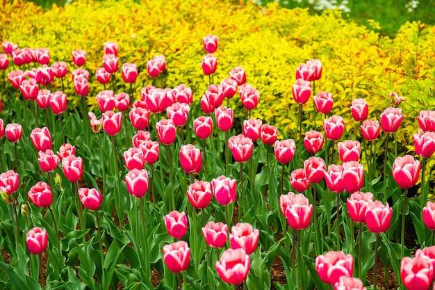 春の芝生の上のピンクのチューリップ