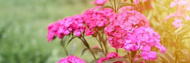 Розовый цветок куста турецкой гвоздики в полном цветении на фоне размытых зеленых листьев и травы в цветочном саду в летний день. баннер. вспышка