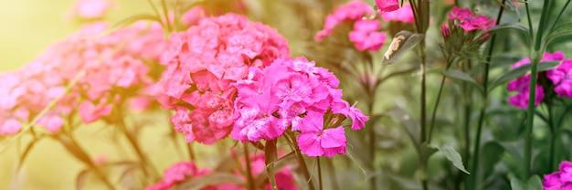 Розовый цветок куста турецкой гвоздики в полном расцвете на фоне размытых зеленых листьев и травы в цветочном саду в летний день. баннер. вспышка