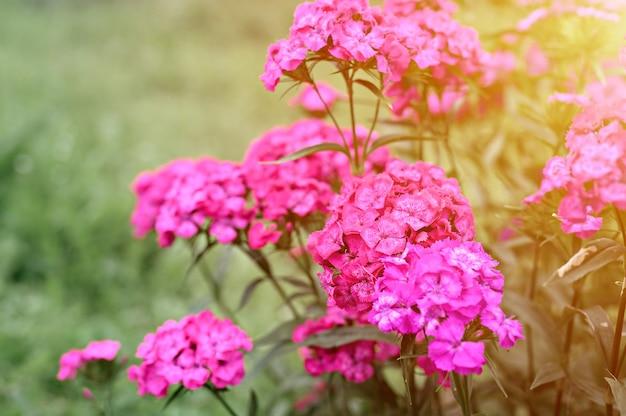 Розовый цветок куста турецкой гвоздики в полном цветении на фоне размытых зеленых листьев и травы в цветочном саду в летний день. вспышка