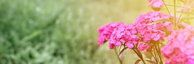 Розовый цветок куста турецкой гвоздики в полном цветении на фоне размытых зеленых листьев и травы в цветочном саду в летний день. место для текста. баннер. вспышка
