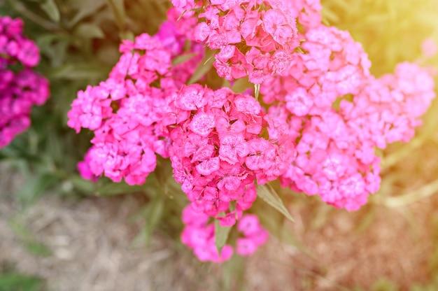 Розовый цветок куста турецкой гвоздики в полном цветении на фоне размытых зеленых листьев и травы в цветочном саду в летний день. вид сверху. вспышка