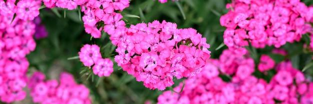 Розовый цветок куста турецкой гвоздики в полном цвету на фоне размытых зеленых листьев и травы