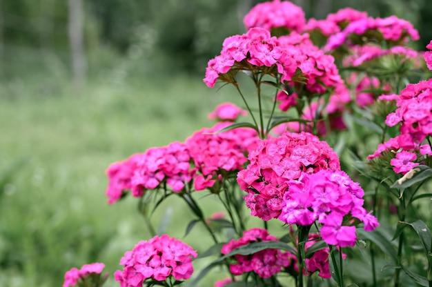 Розовый цветок куста турецкой гвоздики в полном расцвете на поверхности размытых зеленых листьев