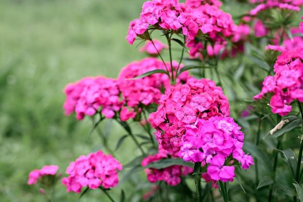 Розовый цветок турецкой гвоздики в полном цвету на размытых зеленых листьях и траве
