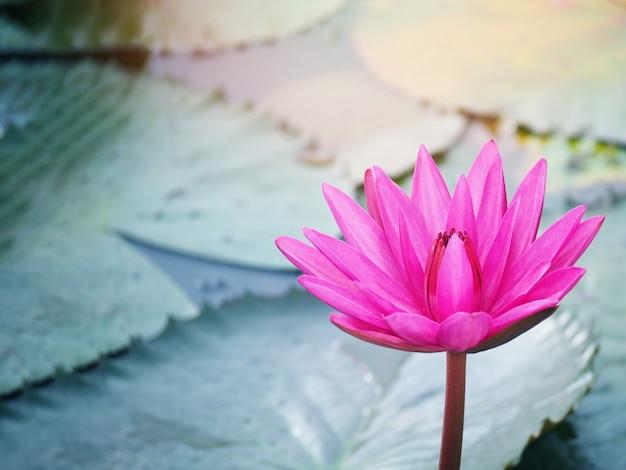 정원 연못에서 분홍색 수련