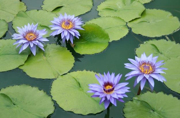 池の中にピンクの水の花の蓮