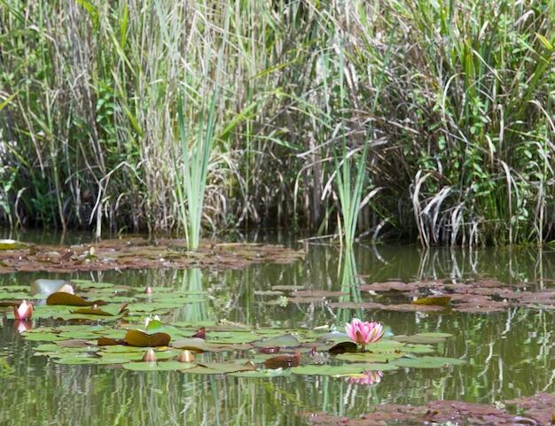小さな池の表面にピンクの睡蓮の花