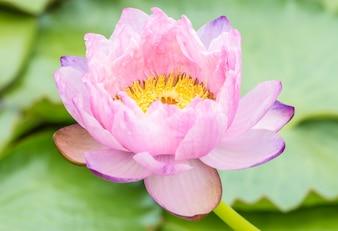 Pink water lily or lotus flower.