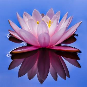 연못에 핑크 수련 또는 연꽃
