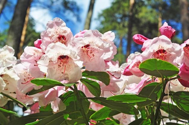 ピンクの白いツツジの花が満開で、茂みに緑の葉があります。春のトロピカルガーデン。 4月、5月のシャクナゲの開花期。
