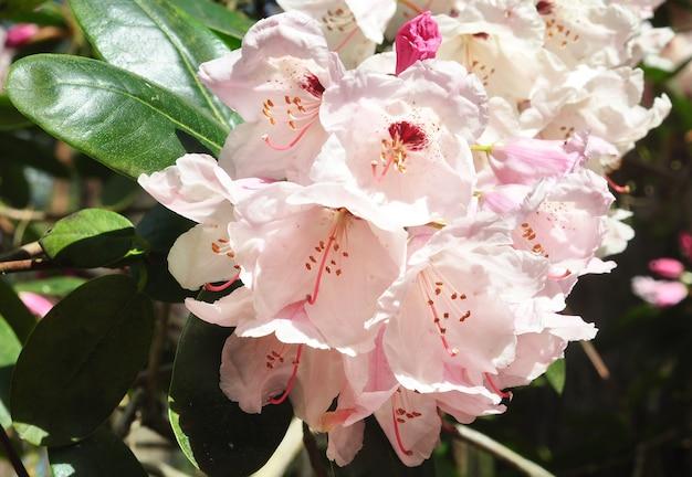 ピンクの白いツツジの花が満開で、茂みに緑の葉があります。春のトロピカルガーデン。 4月、5月のシャクナゲの開花期。 Premium写真