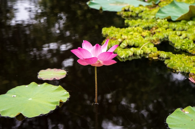 Pink and white lotus flower and green leaf in water nature pool, floral water in the park