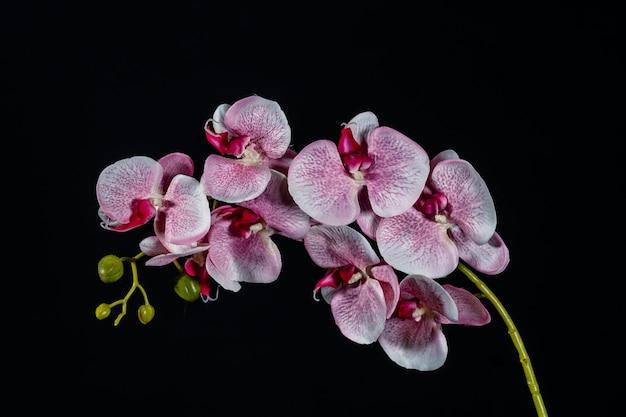 검은 바탕에 분홍색 백색 난초 꽃 가까이 프리미엄 사진