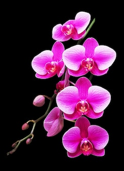 Pink and white phalaenopsis orchid flowers