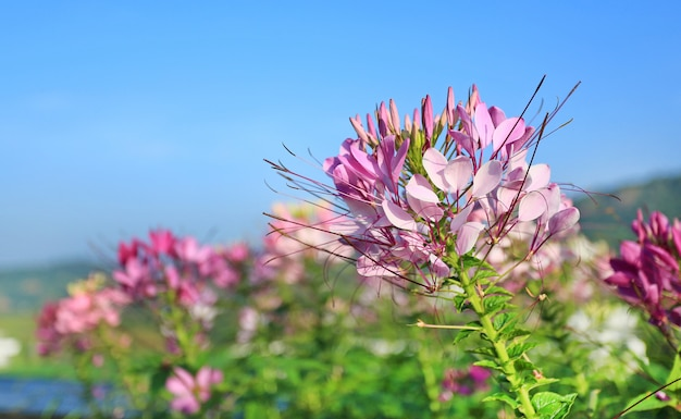 Pink and white spider flower(cleome spinosa) in garden.