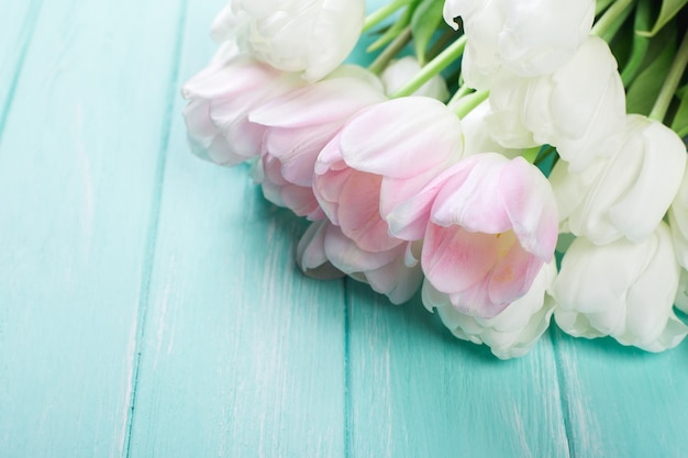 Pink and white very tender tulips on green blue wooden background