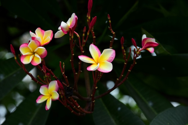 Pink white and yellow frangipani flowers with leaves in background.