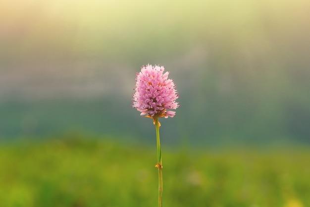 Pink wild flower in the sun beams, minimalism