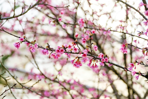 Pink wild himalayan cherry on branch soft background