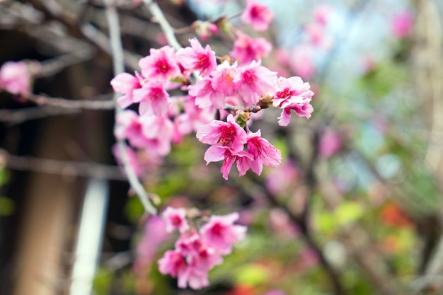 Pink wild himalayan cherry on branch